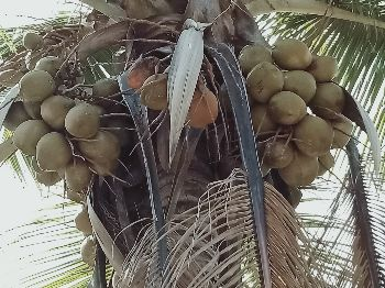 Coconut tree in our farm