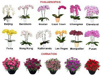 Orchid Pot Plant