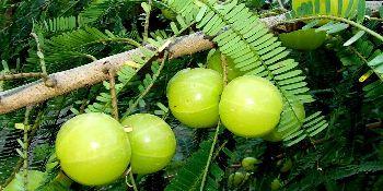 Embelica Officinalis (amla)