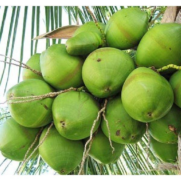 Green Water Coconut Exporter,Green Water Coconut Supplier
