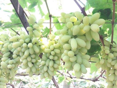 Fresh Nashik Grapes