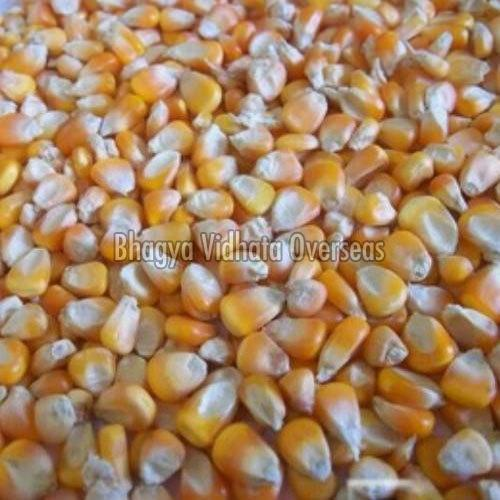 Pure Yellow Maize Seeds
