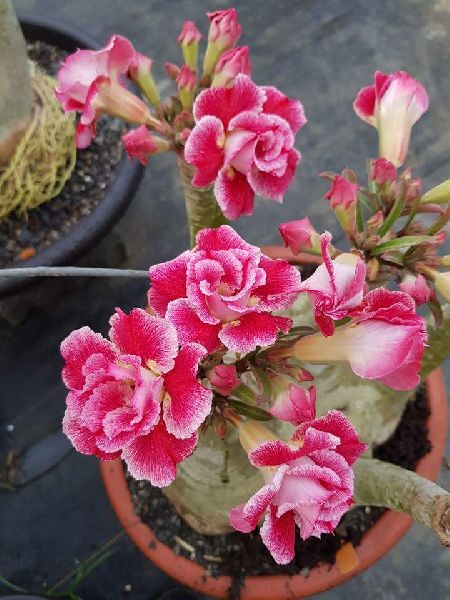 Adenium Red Double Plant