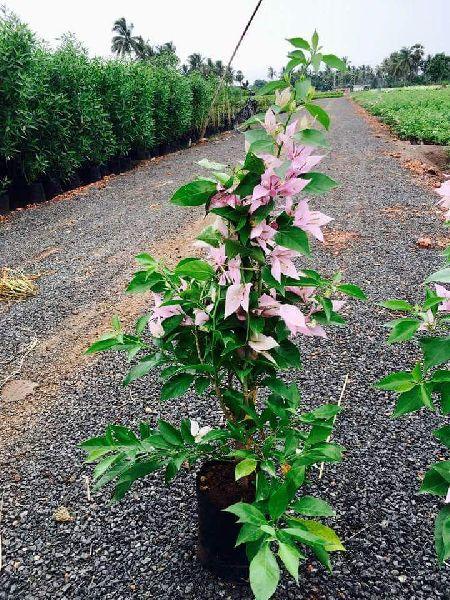 Bougainvillea White Plant