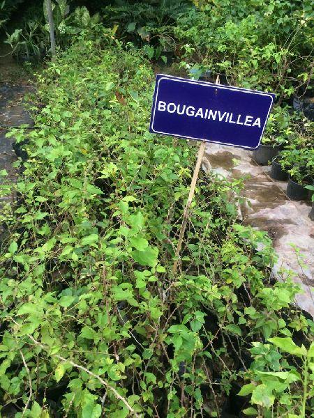 Bougainvillea Yellow Plant