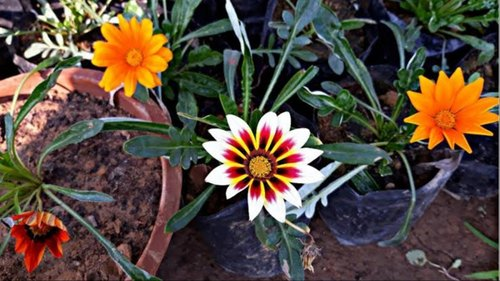 Gazania Orange Plant