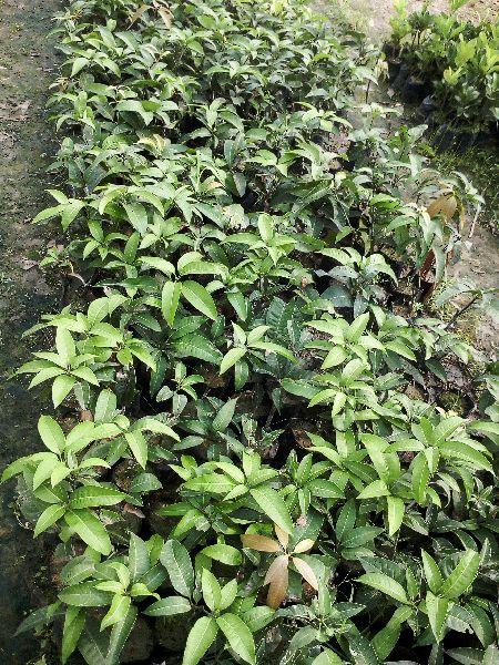 Mango Kesar Grafted Plant