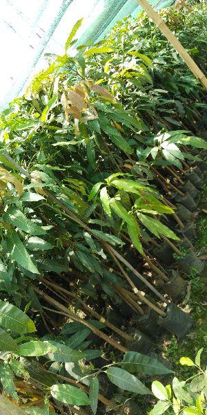 Mango Subarnarrekha Grafted Plant