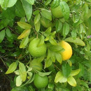Balaji Agro Company - Pakistani Lemon Manufacturer Supplier in