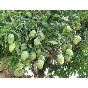 Green Kesar Mango