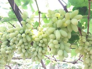 Fresh Nashik Grapes