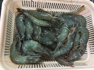 Frozen Hlso Vannamei Shrimp