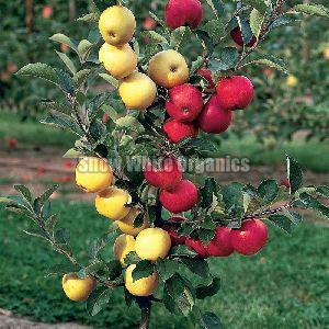 Hybrid Apple Plant