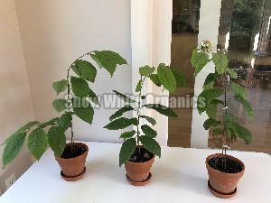 Hybrid Apricot Plant