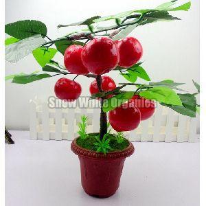 Hybrid Cherry Plant