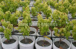 Hybrid Grapes Plant