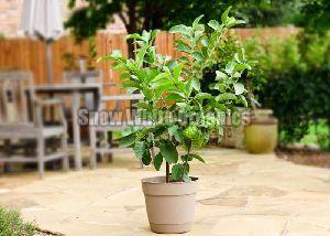 Hybrid Guava Plant