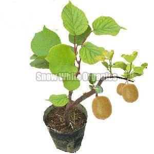 Hybrid Kiwi Plant