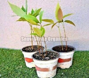 Hybrid Lichi Plant