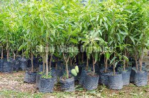 Hybrid Mango Plant