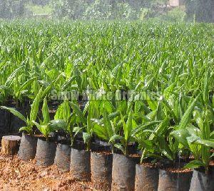 Hybrid Plum Plant