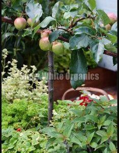 Organic Apple Plant