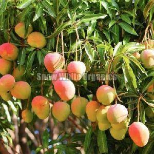Organic Mango Plant