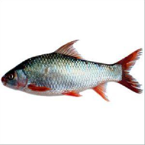 Mrigal Fish