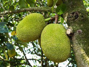 Jackfruit